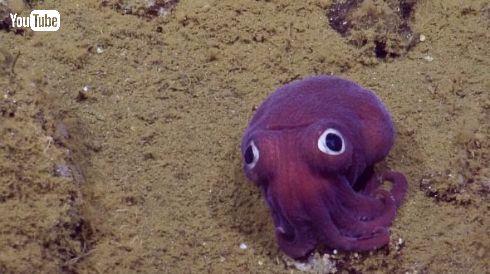 イカ タコ Stubby Squid