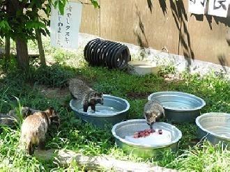 東武動物公園冷やしタヌキ