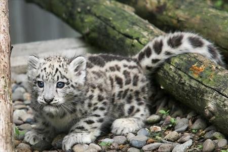 旭山動物園アムールトラ・ユキヒョウ命名