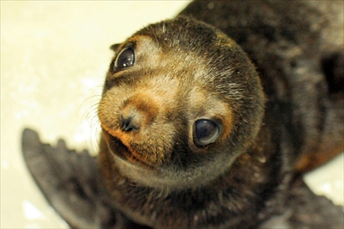 京都水族館・ミナミアメリカオットセイの赤ちゃん