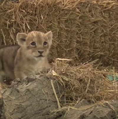 リマ、ライオンの赤ちゃん