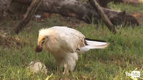エジプトハゲワシ