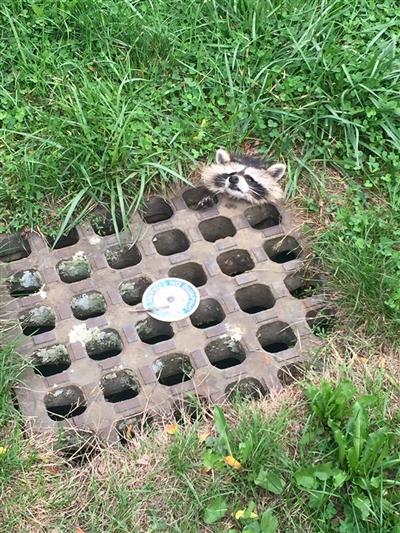 アライグマが雨水溝の鉄柵に挟まる
