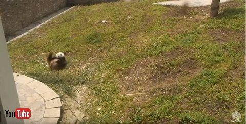 パンダ動画