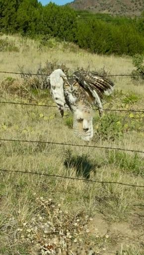 アメリカでフクロウが有刺鉄線に引っ掛かる事故発生