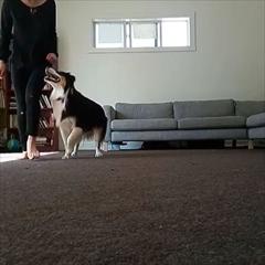アイリッシュダンスを踊る犬