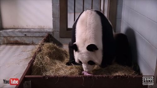 アトランタ動物園パンダ誕生