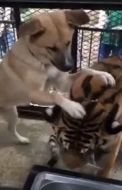 ノースサファリサッポロ 犬とトラ