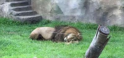 千葉市動物公園ライオンアレン君
