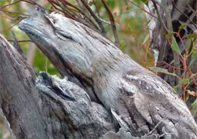 写真 鳥 ステルス オーストラリア ガマグチ ヨタカ