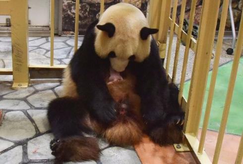 ジャイアントパンダの出産