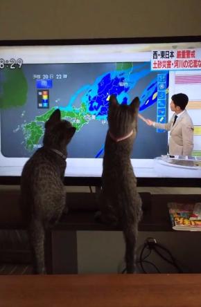 猫 天気予報 指し棒 見入る シンクロ