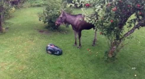 鹿 芝刈りロボット りんご 対決