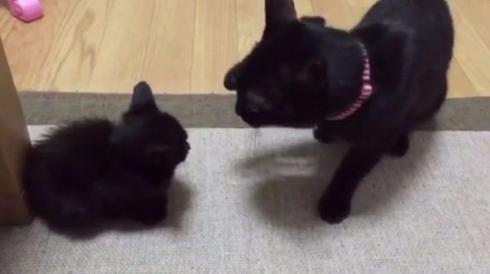 猫 子猫 戦闘力 パンチ タッチ Twitter