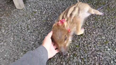道の駅で飼われている「ウリ坊」が癒されると人気 なぜ飼われることに ...