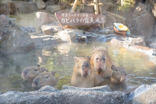 カピバラの露天風呂