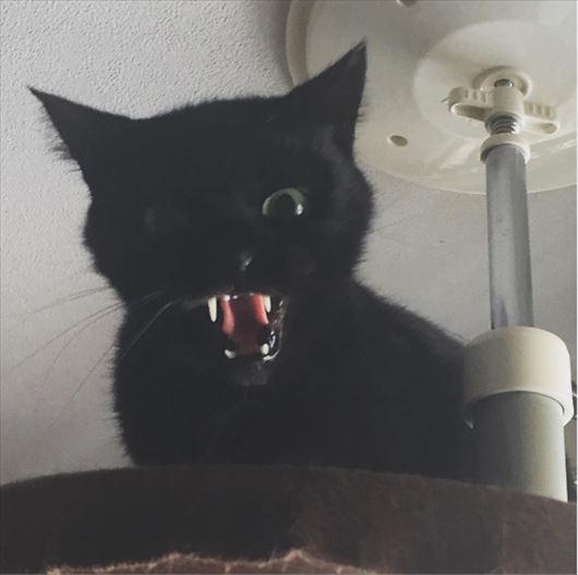 威嚇する黒猫