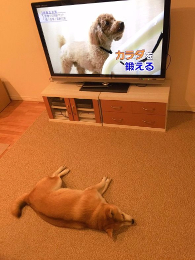 柴犬 やる気 ない ゆう 鍛える テレビ