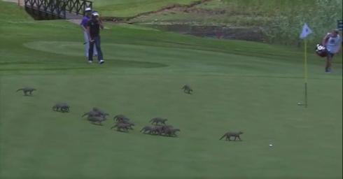 ゴルフ大会でマングースが乱入