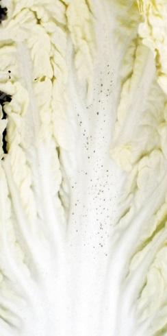 白菜 そばかす 斑点
