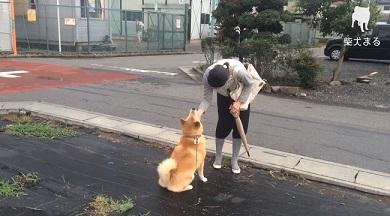 柴犬まるの毎日
