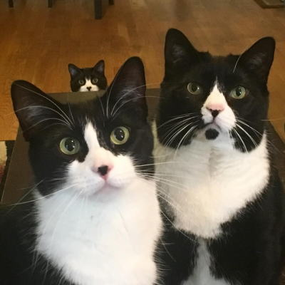 タキシード・トリオ猫