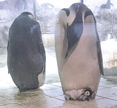 横になるコウテイペンギンのヒナ