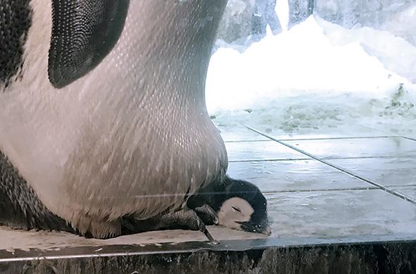 真っすぐ顔を出すコウテイペンギンのヒナ