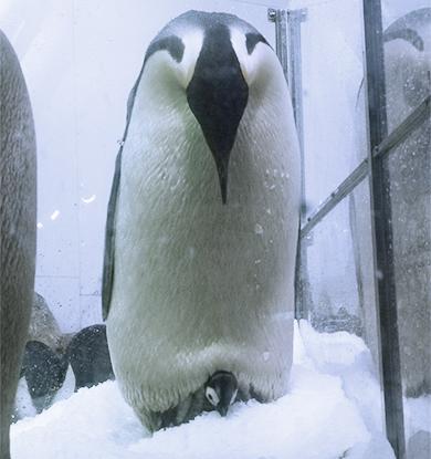 コウテイペンギンのヒナの雪遊び