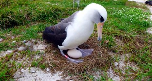 ミッドウェー環礁で世界最年長の海鳥が産卵