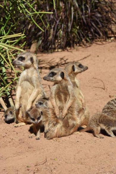ミーアキャット 赤ちゃん オーストラリア 6匹 最大 いっぱい