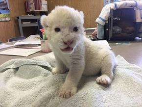 東北サファリ・ホワイトライオンの赤ちゃん