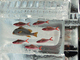 さっぽろ雪まつり、来年度の「魚氷」展示中止を検討 1953年から続く名物展示にTwitterでは「悲しい」の声