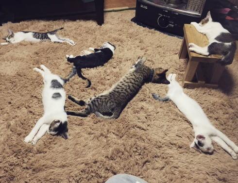 フカフカのラグでまどろも猫