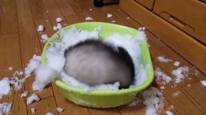 フェレット 雪 はしゃぐ テト 元気