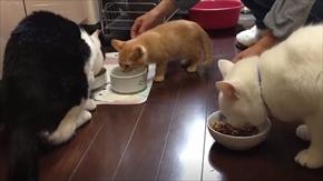 茶トラ猫ひろし 家族になる