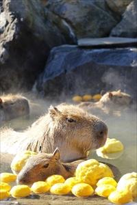 カピバラの長風呂対決