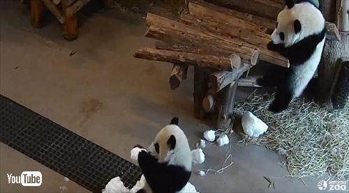 トロント動物園ジャイアントパンダ