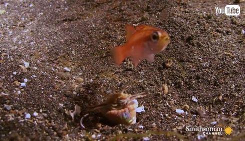 お魚さん逃げてー! 地中からニョキッと襲い掛かるオニイソメのハンターっぷり