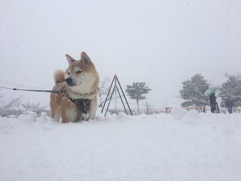 柴犬ロケット