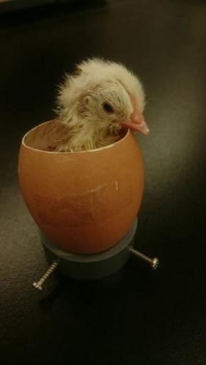 ニワトリの卵 48時間 生中継 ニコニコ生放送 孵化