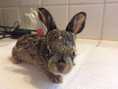 ジャックウサギの赤ちゃんの正面