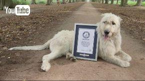 ギネス 犬 尻尾 長さ 2017 世界記録