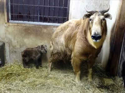 多摩動物公園ゴールデンターキン&アムールトラ