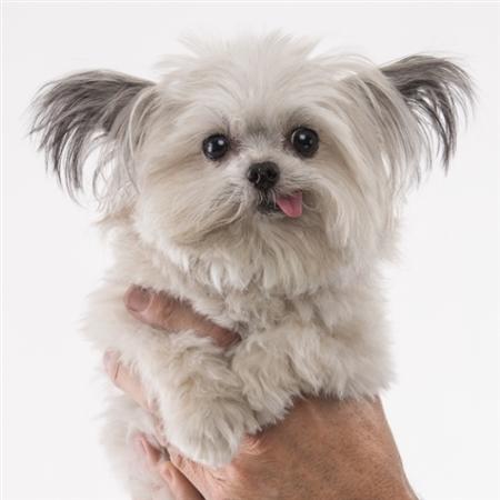 手のひらサイズのセラピー犬 てへぺろスマイルで癒される