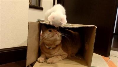 茶トラ猫ひろし兄になる