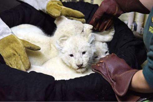 赤ちゃんホワイトライオンお披露目
