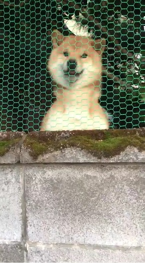 かわいい柴犬