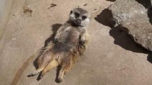 ミーアキャット 熟睡 昼寝 仰向け おっさん 市川市動植物園