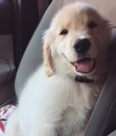 ゴールデンの子犬
